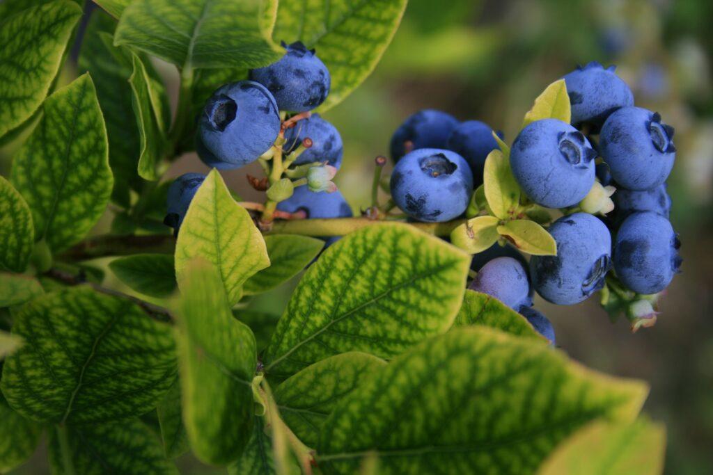 Fekete áfonya bogyó termése Étrendező